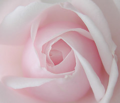 is the rose naked (sojourner photography) Tags: pink love bravo pastel passion imagination excellence regrets pabloneruda inmygarden abw innerbeauty naturesfinest deepinmyheart superaplus aplusphoto standingintherain softandlightisnice softlyandtenderly