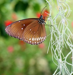 Tiptoe Through The Tendrils (Little Laddie) Tags: macro nature butterfly insect vines crow common core naturesfinest blueribbonwinner euploea supershot butterflyrainforest specanimal abigfave butterflybeauty anawesomeshot impressedbeauty isawyoufirst tiggleschoice flickrelite