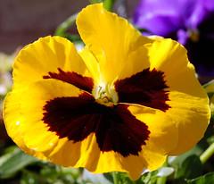 Pansy (uglybugga) Tags: flowers nature d50 flora nikon nikond50 mothernature florafauna beautifulworld superbmasterpiece beyondexcellence flowerpicturesnolimits mothernatureatherbest