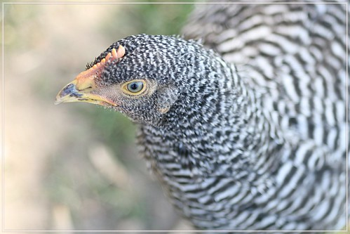 neugieriges junges Huhn (Amrock)
