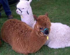 Sheepshearing5