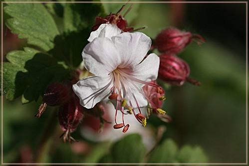 Geranium macrorrhizum  Balkanstorchschnabel