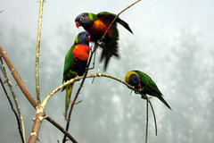 NYC - Prospect Park Zoo - Animals in Our Lives - Lorikeets (wallyg) Tags: park nyc newyorkcity ny newyork bird birds brooklyn zoo prospectpark lorikeet landmark gothamist animalplanet lorikeets prospectparkzoo kingscounty wcs nationalregisterofhistoricplaces wildlifeconservationsociety nrhp usnationalregisterofhistoricplaces newyorkcitylandmarkspreservationcommission nyclpc sceniclandmark animalsinourlives