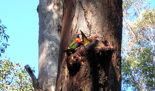 Bathing lorikeets