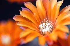 When cactuses bloom (crosslens) Tags: cactus orange macro cacti blossom flowerotica flowercolors superhearts