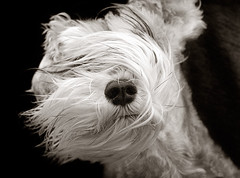 Schnauzer weather, in b/w (Piotr Organa) Tags: portrait bw dog pet white toronto canada black cute face animal adorable schnauzer monochromia thelittledoglaughed impressedbeauty flickrglam pet500 pet1000 pet2000 matizanimal pet4000 pet5000