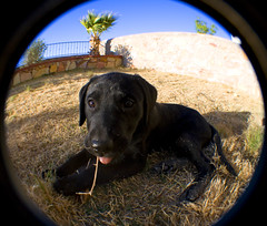 its a dogs life (paulhitz) Tags: dog fish black eye digital canon puppy geotagged eos rebel lomo lomography texas map tag tagged fisheye elpaso blacklab geo geotag 07 2007 mapped fel fisheyelens eosdigitalrebelxti canoneosdigitalrebelxti paulhitz