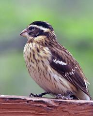 Female Grosbeak (cricketthestar) Tags: femalegrosbeak impressedbeauty impressedbyyourbeauty