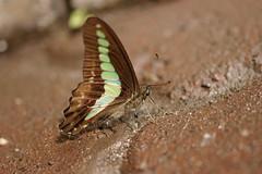 Graphium sarpedon アオスジアゲハ
