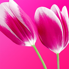 (mactastic) Tags: pink flowers macro love colors closeup wow catchycolors square petals interestingness spring flora colorful tulips bright vibrant vivid rosa peaceful explore serenity tulip raspberry serene isolated eyecandy flore naturesfinest top500 interestingness128 i500 mactastic colorphotoaward explore09may07
