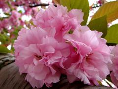 cherry blossoms (Abizeleth) Tags: nyc newyorkcity pink flowers trees brooklyn cherry spring blossoms bbg brooklynbotanicgarden cherrytrees