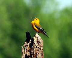 The Warbler's Song (Nicki817) Tags: birds wisconsin ilovenature bokeh hiking birding aves ornithology naturesfinest prothonotarywarbler woodwarbler blueribbonwinner vermivoracelata wyalusingstatepark specnature spectacularnature anawesomeshot focuslegacy bestnaturetnc07