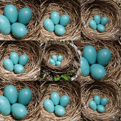 Robin's Eggs Collage (FOTOGRAFIA.Nelo.Esteves) Tags: blue usa cute beautiful robin collage wonderful us newjersey amazing cool nice fantastic nikon pretty unitedstates nest mosaic gorgeous awesome great nj eggs monmouthcounty congratulations bayshore 2007 welldone robineggblue unionbeach views900 d80 neloesteves zip07735