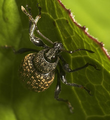 """Vine Weevil (Otiorhynchus sulcatus) #4 • <a style=""""font-size:0.8em;"""" href=""""http://www.flickr.com/photos/57024565@N00/498250352/"""" target=""""_blank"""">View on Flickr</a>"""