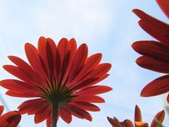 osteospermum (mamako7070) Tags: flowers red plants flower africandaisy osteospermum flowerotica lovelyphotos flowerinthesky anawesomeshot wowiekazowie diamondclassphotographer flowerpicturesnolimits sunnysierra flowersmakeeveryonehappy