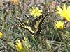 Swallowtail Butterfly, Palekastro, Crete