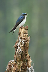 Tree Swallow - by ~K~