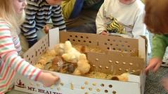 Baby chicks meeting baby chicks