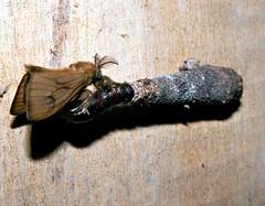 Psychidae (Mangiwau) Tags: macro insect indonesia moth insects creepy lepidoptera moths papua insectes insecta motte serangga crawlies psychidae jayapura irian senggi tekai nouvelleguinee nationalmothweek