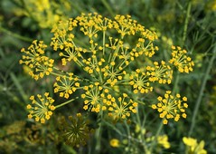 Fennel Flower (Manny Pabla) Tags: travel winter vacation india flower rural canon landscape rebel village indian desi punjab fennel greenrevolution pind saunf panjab fennelflower nawanshahr
