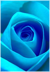 The blue rose (Suzanne takes you down) Tags: blue flower rose naturesfinest diamondclassphotographer