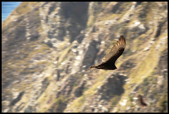 Soaring (oshcan) Tags: california nature birds flying bigsur vulture supershot suprshot