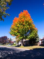 Maple popsicle (jpctalbot) Tags: autumn urban canada tree fall beautiful leaves leaf maple ottawa suburbs polarizer popsicle hoya anawesomeshot cans2s colourlicious