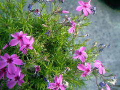 Darling purple flowers (Yakima_gulag) Tags: set nursery mcmahans