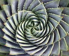 Succulent spiral (duff_sf) Tags: sanfrancisco arboretum symmetry succulents naturesfinest superbmasterpiece beyondexcellence ithinkthisisartaward