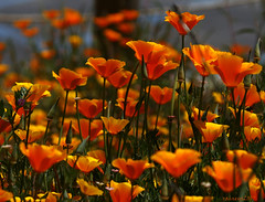 California Poppies (raineys) Tags: california flowers macro nature canon bravo searchthebest elkhornslough californiapoppies naturesfinest blueribbonwinner supershot abigfave anawesomeshot impressedbeauty wowiekazowie diamondclassphotographer