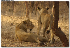 lionesses at gir (wildlens) Tags: trip travel vacation en india holiday nature photography photo nikon photos  cr iucn jadeja criticallyendangered pantheraleopersica manjeet yograj manjeetyograjjadeja