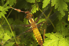 """Broad-Bodied Chaser (Libellula depre(12) • <a style=""""font-size:0.8em;"""" href=""""http://www.flickr.com/photos/57024565@N00/506305486/"""" target=""""_blank"""">View on Flickr</a>"""