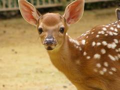 zoo Antwerpen : hertje (belgianchocolate) Tags: baby zoo zooantwerpen jong kalf hert dierentuin hertje kalfje dybowsky