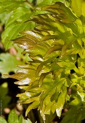 closeup of new growth on lovage