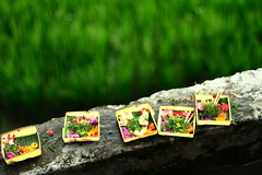 canang sari (Farl) Tags: flowers bali food indonesia dof rice bokeh squares terraces ledge offering tradition agriculture hinduism ubud canang tegalalang postweddingtour