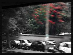gay May flowers (smelly flower) Tags: traffic bangalore mayflowers