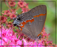 Red-banded Hairstreak (Calycopis cecrops) (sojourner photography) Tags: butterfly texas upcloseandpersonal inmygarden