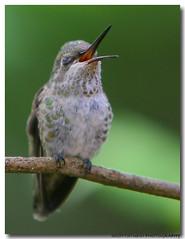 Hanna gives a Yawn (Darhawk) Tags: birds washington backyard small pacificnorthwest nectar tacoma annashummingbird calypteanna featheryfriday canonef70200mmf28lisusm