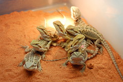 Reptile Terrariums - Bearded dragons