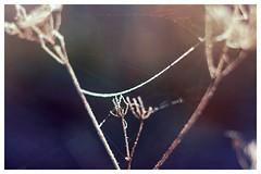Nature's Work (Macro light) Tags: worcestershire worcester winter frozen ice cobwebs spiders natureswork