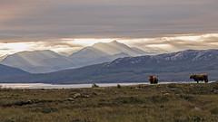 Highland Cows (Craig Hannah) Tags: highlandcows skye scotland landscape craighannah clouds mountain uk island morning cattle cows