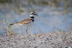 Chorlo griton, Killdeer, Charadius vociferus (Andres Puiggros) Tags: arica aves bird birds humedal lluta chorlogriton killdeer charadiusvociferus