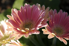 Daisy Duet (blueDonkey) Tags: plant flower bayport daisy alameda