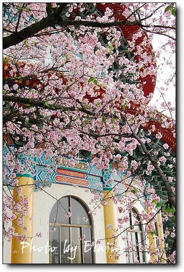 0331天元宮盛開櫻花