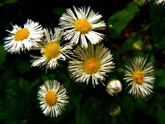 Happy flowers.... :-) (annpar) Tags: light white green face yellow contrast weeds close group bloom happyflowers