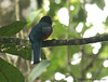 Collared Trogon (Michael Woodruff) Tags: bird birds ecuador birding choco collared trogon pvm trogoncollaris collaredtrogon nwecuador riosilanche