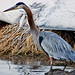 Great Brr Heron