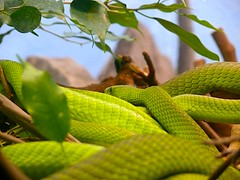 London Zoo - mmhh.. green snake (sbuliani) Tags: green london animal lumix zoo snake planet stefano naturesfinest parkstock supremeanimalphoto impressedbeauty buliani sapessi stefanobuliani