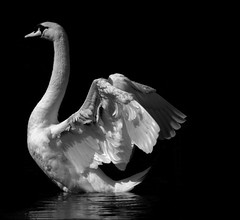 . Rhapsody In Grey - For The Birds . (3amfromkyoto) Tags: bw white black reflection bird monochrome grey blackwhite swan bravo rhapsody naturesfinest 3amfromkyoto impressedbeauty avianexcellence flickr:user=3amfromkyoto