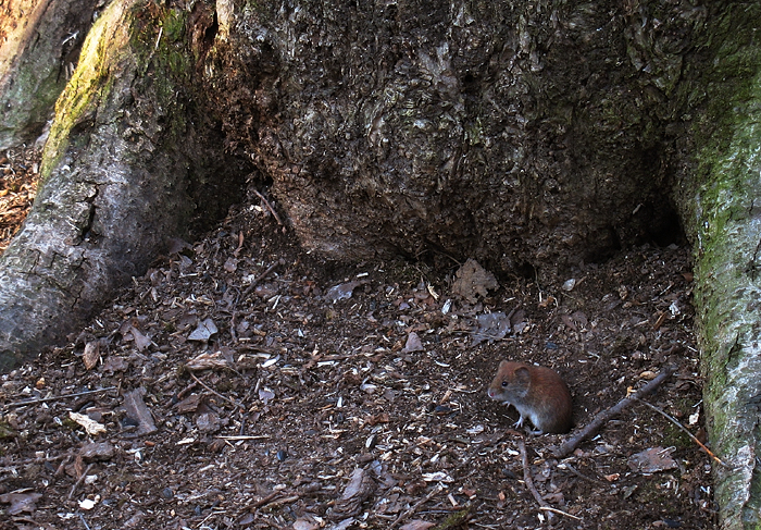 forest_mouse